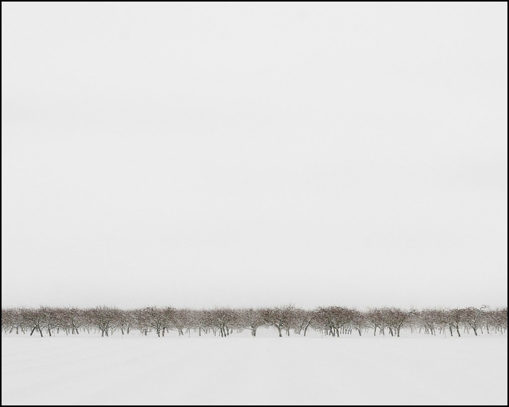 distant orchard on a snow day