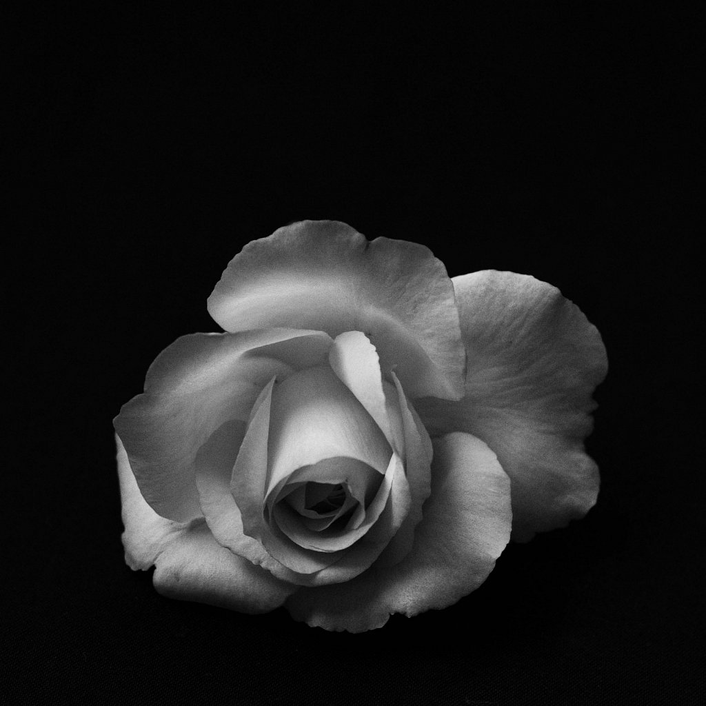 rose on black 2